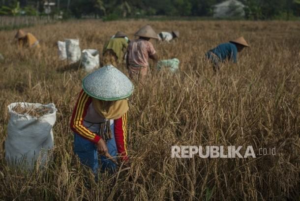 Petani memanen padi di Margoagung, Seyegan, Sleman, DI Yogyakarta (ilustrasi).