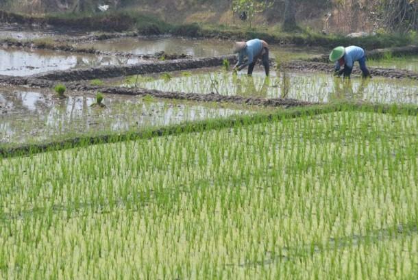 Petani menanam padi di kawasan persawahannya. (ilustrasi)