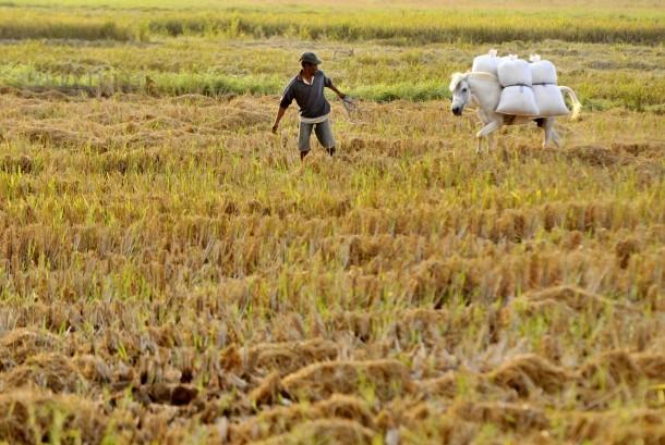 Petani menarik kudanya yang mengangkut padi hasil panen di Persawahan Pattalasang, Sunggumina, Gowa, Sulawesi Selatan, Kamis (11/8).