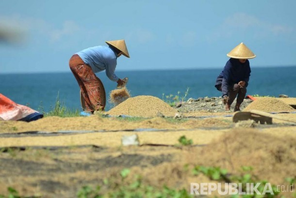 Petani menjemur gabah di pantai Pamayangsari, Kabupaten Tasikmalaya. Jawa Barat. (Republika/Edi Yusuf)