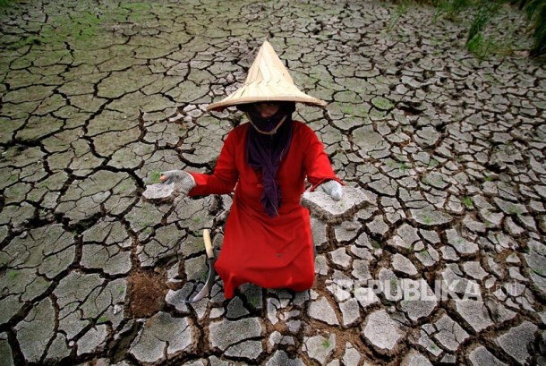 Farmer shows his paddy fields suffered from drought. (Illustration)