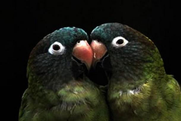 Salah satu jenis burung beo langka (ilustrasi)