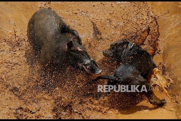 Seekor babi hutan dan anjing jenis pitbull bertarung di arena Adu Bagong di Desa Cikawao, Majalaya, Kabupaten Bandung, Jawa Barat.