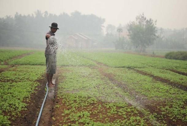 Seorang petani menyiram lahan pertaniannya. (ilustrasi)