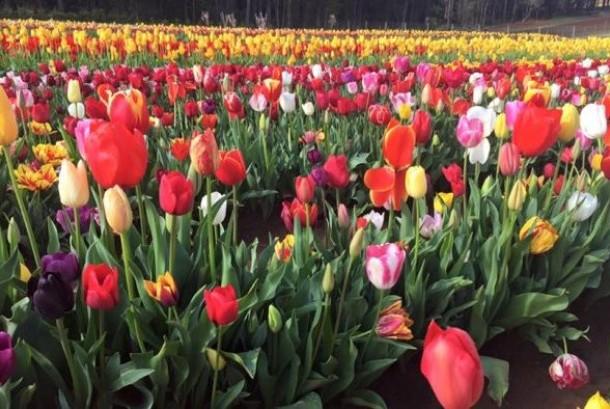 Tidak hanya menikmati tulip, pengunjung pun bisa menikmati sejumlah hiburan.