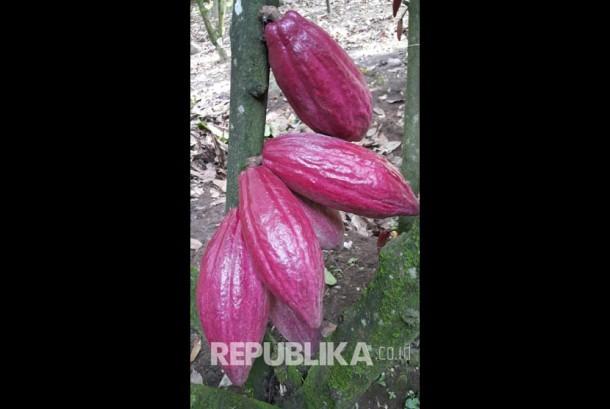 Varietas Unggul Baru Kakao BL50.