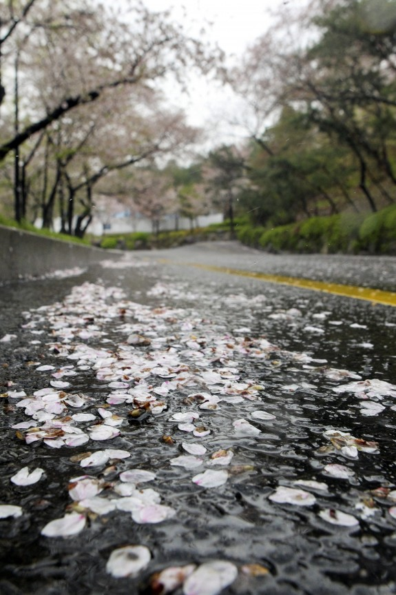Bunga Sakura Siap Mekar Di Korea Selatan Republika Online