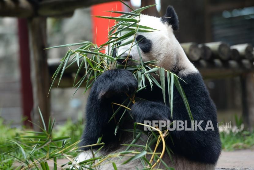 Panda Raksasa Hu Chun memakan bambu saat kunjungan resmi Pemerintah RRT ke Istana Panda Indonesia di Taman Safari Cisarua, Jawa Barat, Ahad (26/11).