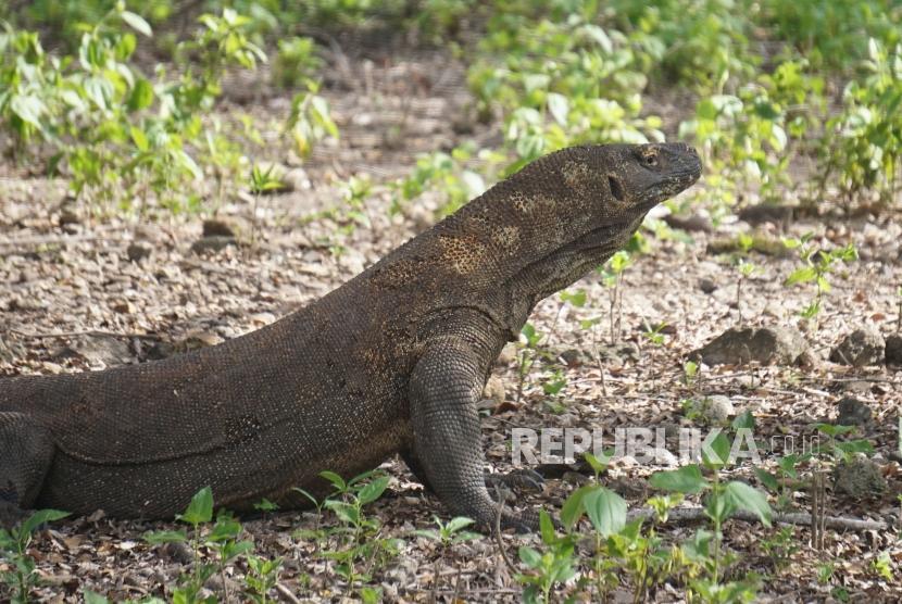 Komodo Dragon at its original habitat in Komodo Island, Komodo National Park, East Nusa Tenggara.