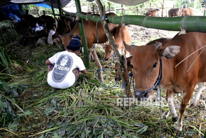 Penampungan Hewan Ternak Pengungsi. Pengungsi memberi makan hewan ternak di penampungan hewan ternak pengungsi, Rendang, Karangasem, Bali, Jumat (1/12).