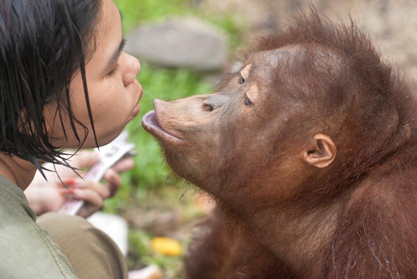 Seorang pengasuh bercanda dengan Orangutan (Pongo pygmaeus wurmbii) asuhannya di Borneo Orangutan Survival Foundation (BOS), Nyaru Menteng, Palangka Raya, Kalteng, Jumat (30/10). (Antara/Saptono)