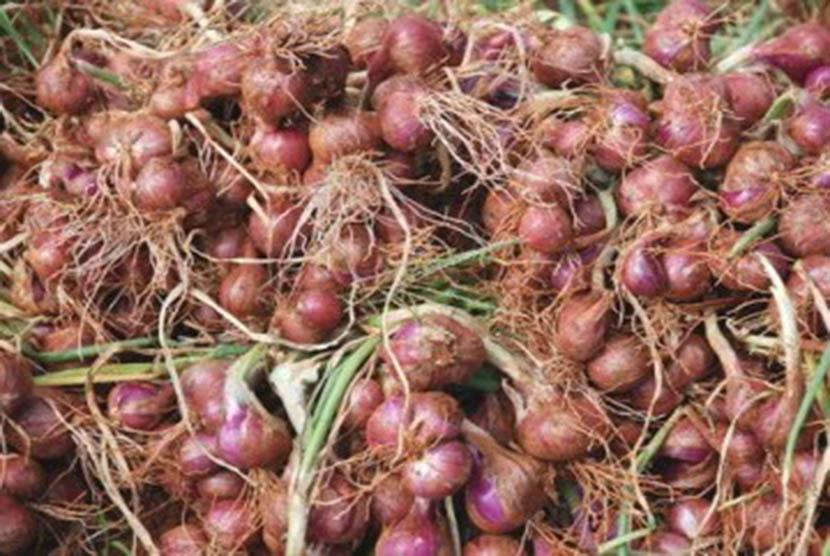 Bawang merah (ilustrasi)