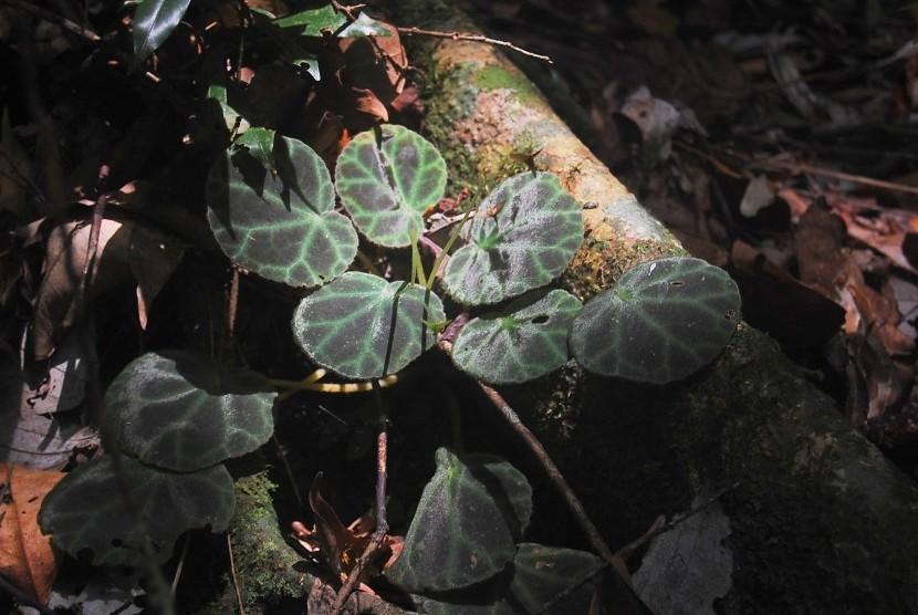 Begonia olivacea, tanaman Begonia jenis baru yang ditemukan di kawasan Taman Nasional Gunung Leuser.