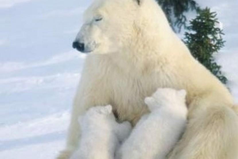 Beruang Kutub