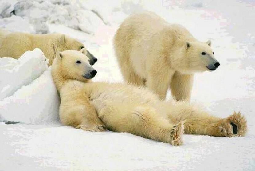 Beruang Kutub Alaska