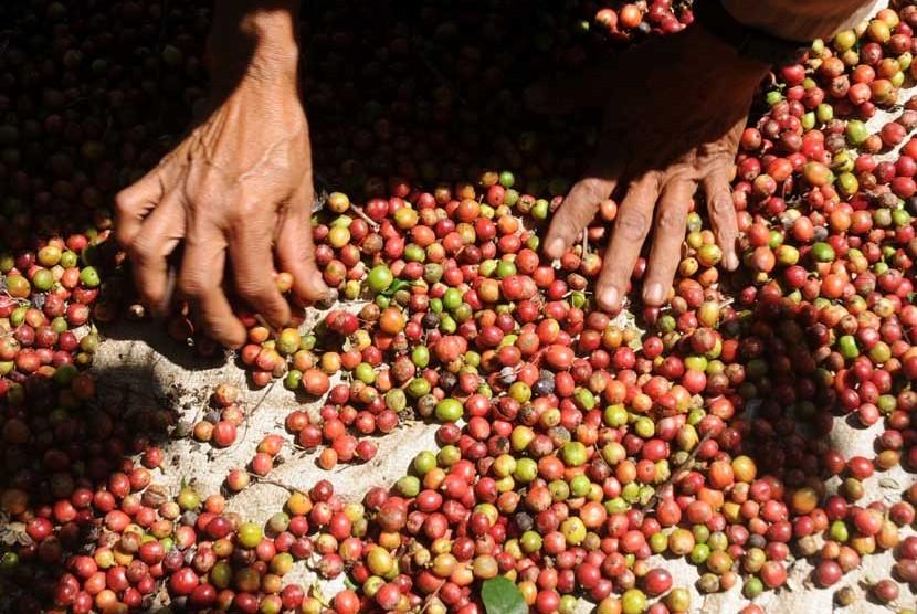 Biji kopi hasil panen/ilustrasi