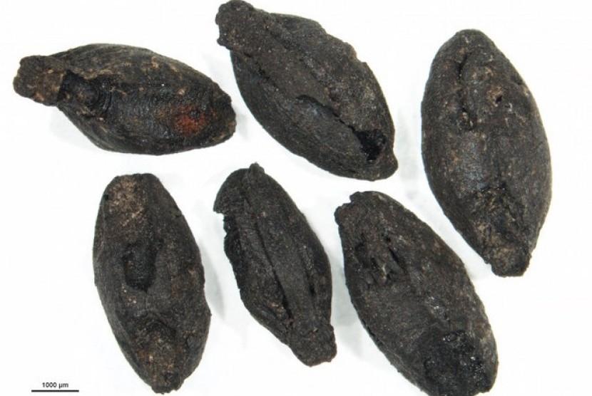Biji sereal yang diyakini berasal dari zaman Perunggu.