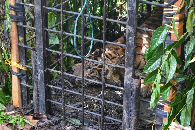 BKSDA Sumbar menunda proses evakuasi anak harimau sumatra yang tertangkap pada Sabtu (14/4). Selain mempertimbangkan kondisi kesehatan anak harimau, penundaan evakuasi juga untuk menghindari amukan beberapa individu harimau lain yang masih berkeliaran.