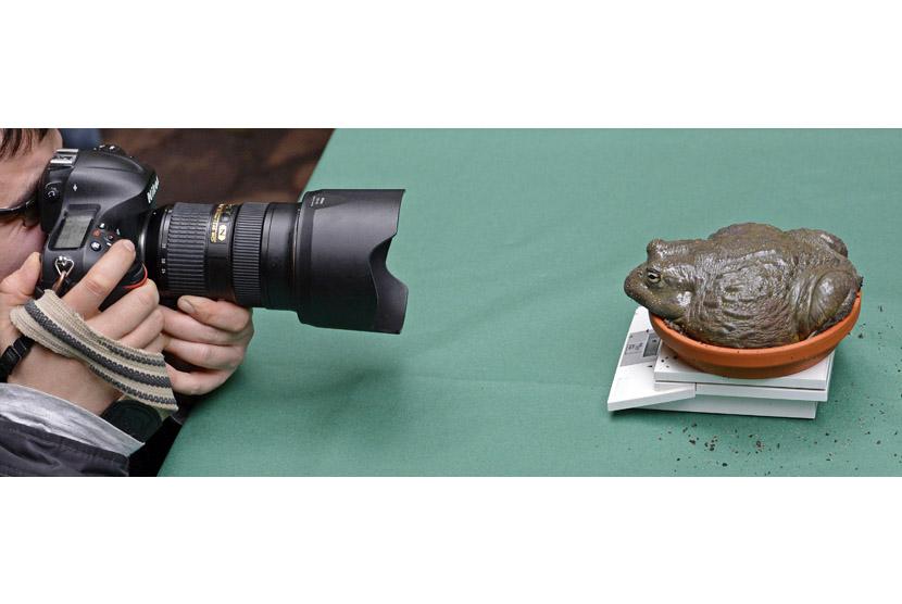 Bullfrog, kodok raksasa asal Afrika (Pyxicephalus Adspersus ) difoto ...