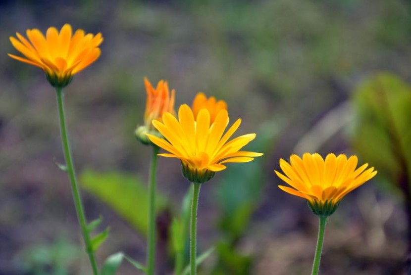 Bunga Calendula.