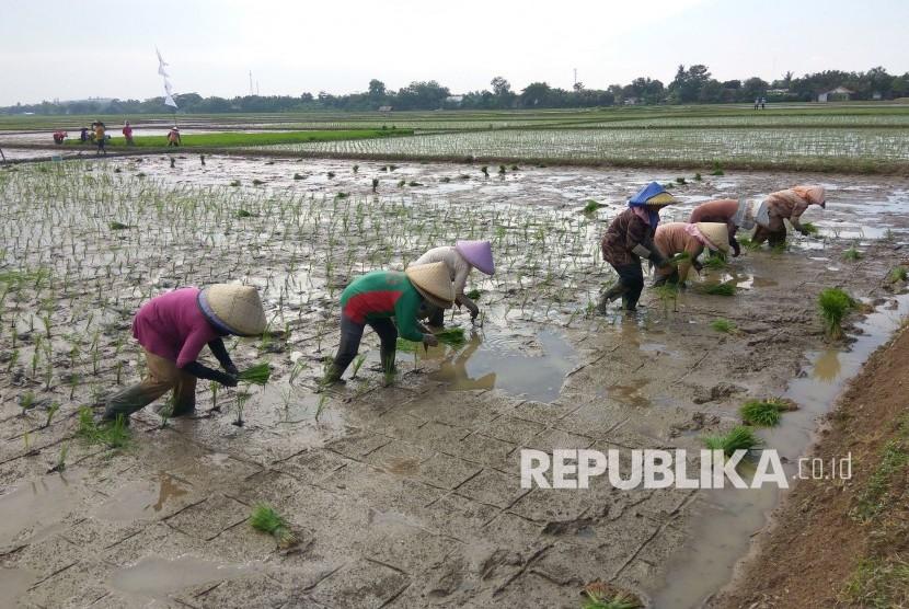 Buruh tani di Desa Kalijati, Kecamatan Jatisari, Karawang, sedang tanam (tandur) padi untuk mendukung program pemerintah percepat tanam MT April-Sepetember 2017, Selasa (25/4).