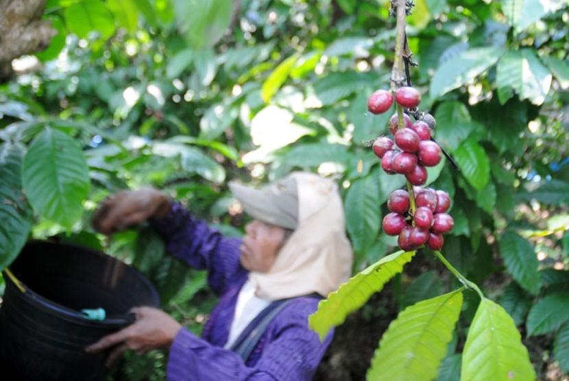 Buruh tani memanen kopi di perkebunan milik PTPN IX, Bawen, Kabupaten Semarang, Jawa Tengah.  (Republika)