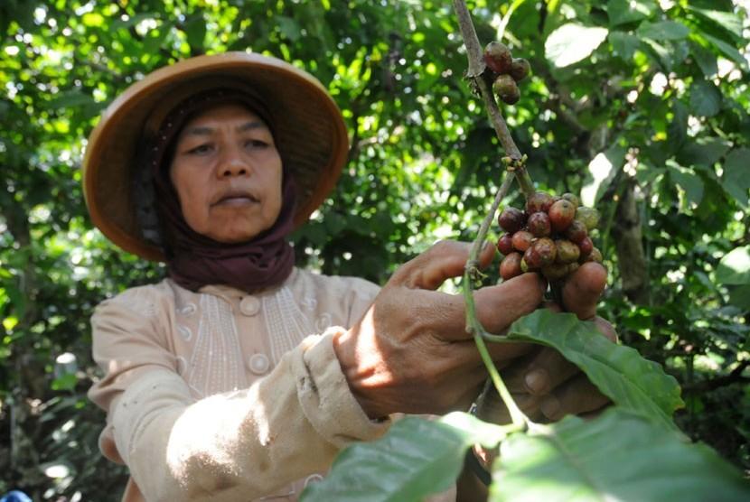 Buruh tani memanen kopi di perkebunan milik PTPN IX, Bawen, Kabupaten Semarang, Jawa Tengah.  (Aditya Pradana Putra/Republika)