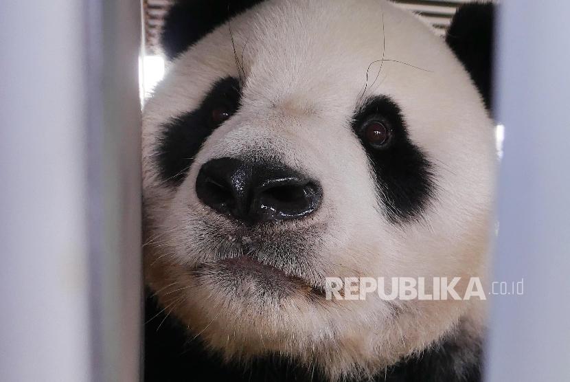 Cai Tao, Giant Panda jantan asal Cina tiba di Bandara Soekarno Hatta Indonesia dengan pesawat kargo Garuda Airlines, Kamis (28/9).