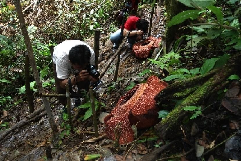 Rafflesia Arnoldii blossoms at Hutan Lindung Bukit Daun Register V Kabupaten Kepahiang, Bengkulu.