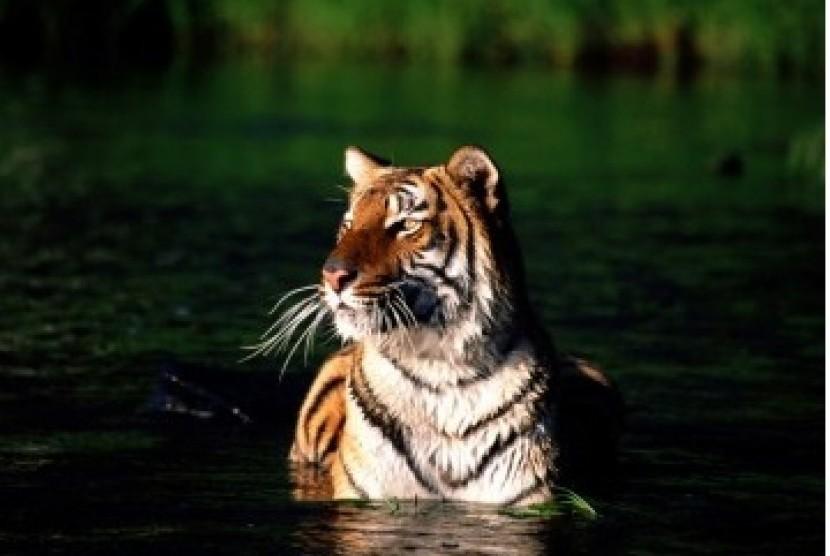 Harimau Benggala.