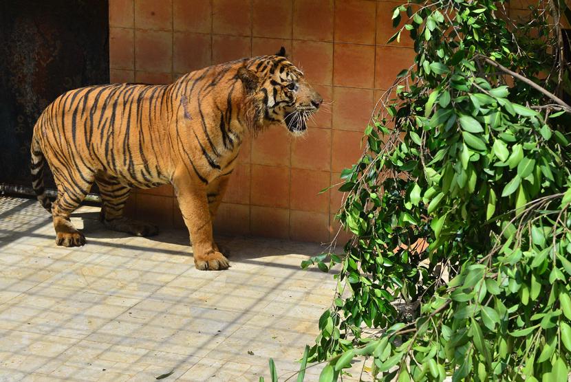 Harimau Sumatera bernama Giring di  Taman Safari Indonesia, Cisarua, Bogor (10/6).  (Foto :  dok. Humas Kemenhut)