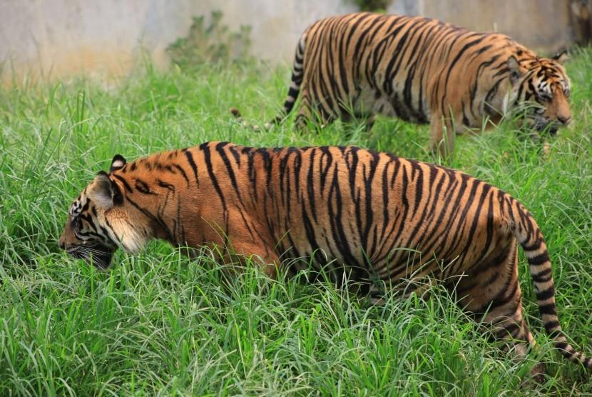 Harimau Sumatera (Panthera tigris sumatrae) di Taman Satwa Taru Jurug (TSTJ), Solo, Jawa Tengah, Kamis (14/11).