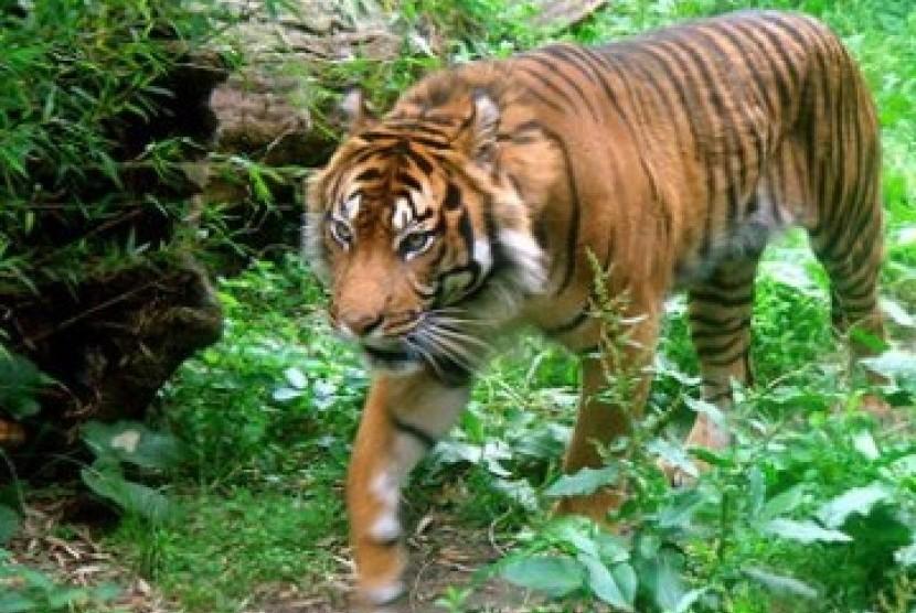 Tim Gabungan Lacak Harimau Terkam Warga Riau
