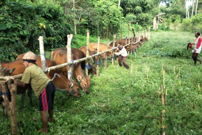 Hewan-hewan ternak di tempat penampungan hewan di Bali.