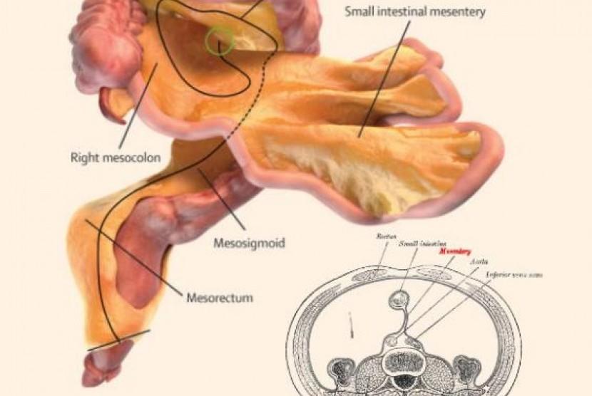 Ilustrasi mesenterium, organ baru di dalam perut manusia.