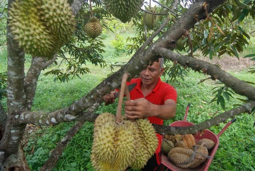 Ilustrasi sentra kebun durian.