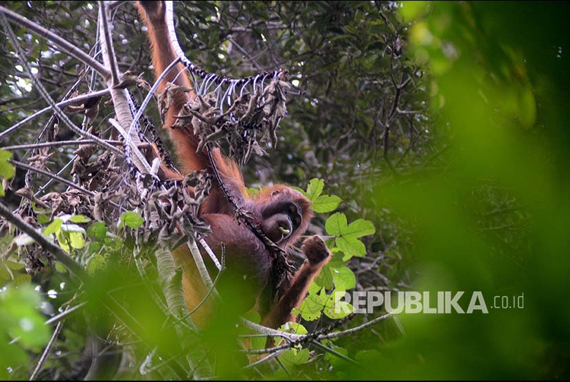 Individu Orangutan tampak di hutan Taman Nasional Gunung Palung Kalimantan Barat.