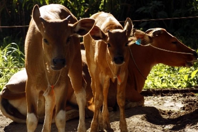 Induk sapi dan anaknya (ilustrasi).