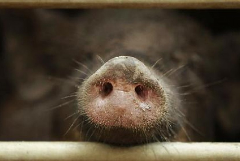 Jenis babi hutan yang dipelihara dalam peternakan (ilustrasi)