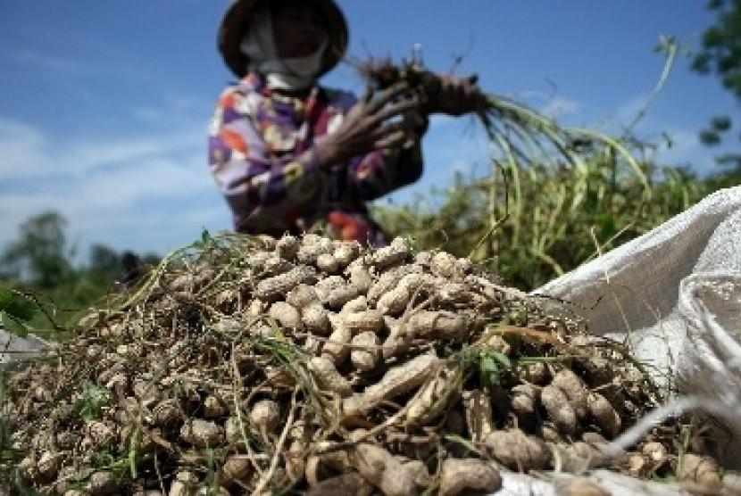 Biologi UGM Kembangkan Kacang Tanah Baru