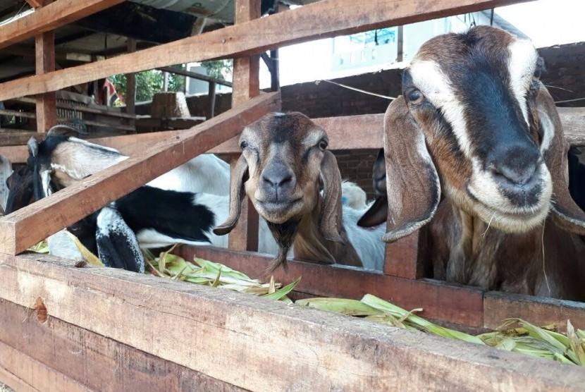 Kambing-kambing yang dijual di Kawasan Kebon Melati, Pasar Tanah Abang, Senin (7/8).