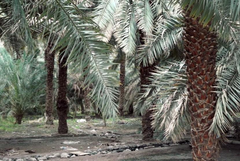 Kebun kurma di Madinah, Arab Saudi