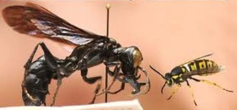 King of Wasps yang ditemukan di Sulawesi