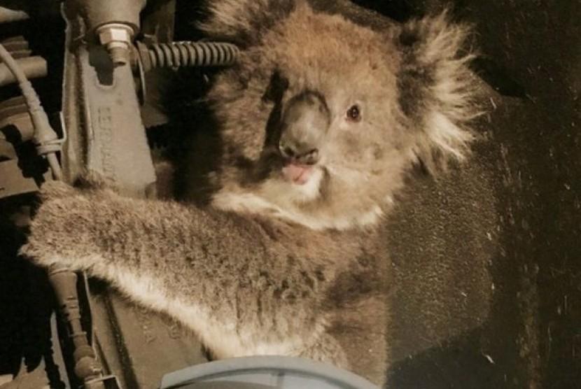 Koala yang terjebak dalam poros roda mobil dan menempuh perjalanan 16 km.