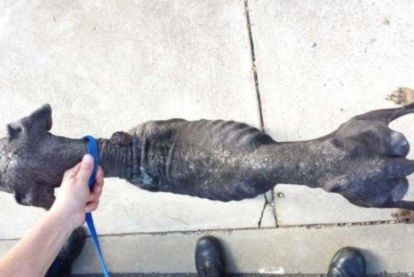 Kondisi anjing Doberman yang ditelantarkan seorang warga di Canberra.