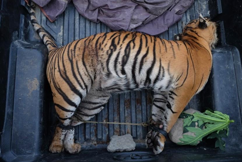 Perburuan Jadi Ancaman Tertinggi Harimau Sumatra
