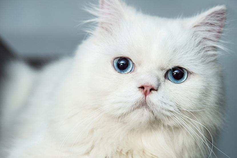 Kucing bermata biru. Ilustrasi