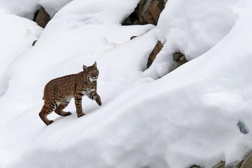 Kucing besar Lynx.