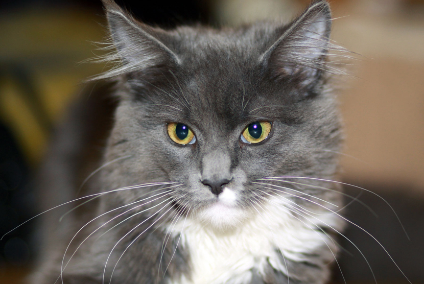 Kucing Bony Maine Coon.
