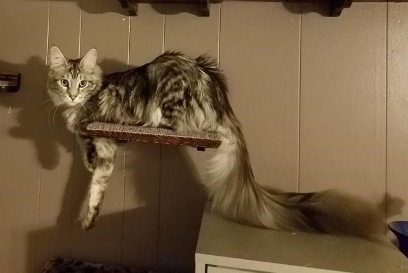 Kucing dengan ekor terpanjang, Cygnus Regulus Powers.